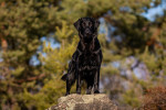 Flat-Coated Retriever picture