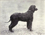 Irish Water Spaniel picture