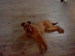 Galice - Irish Terrier (1 year)