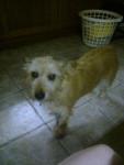 rusty - Male Irish Terrier (9 years)