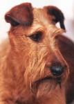 Irish Terrier - Irish Terrier