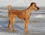 Irish Terrier picture