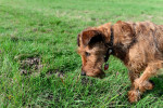 Irish Terrier picture