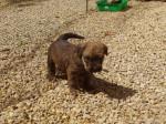 Guinness - Irish Terrier (1 month)