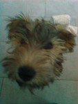 Guinness - Irish Terrier (5 months)