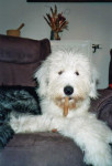 Freya Bobtail femelle - Old English Sheepdog