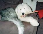 Freya - Old English Sheepdog