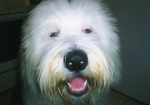 Portrait Freya - Old English Sheepdog