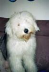 Freya, jeune Bobtail 9 mois - Old English Sheepdog (9 months)