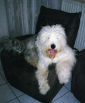 Freya 11 mois - Old English Sheepdog (11 months)