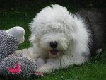 Hooper Bobtail à 6 mois - Old English Sheepdog (6 months)