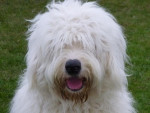 HOOPER, un BOB bien dans ses poils... 1 an - Old English Sheepdog
