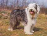 Old English Sheepdog picture