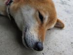 Shiba Inu picture