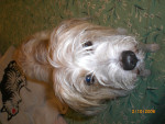 Arlo - Male Dutch Smoushond (12 years)