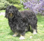 berger portugais Vanille de la Brenne Sauvage - Portuguese Sheepdog