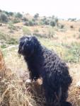 Berger Portugais CH. Belém des Gardiens de la Houlette - Portuguese Sheepdog