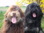 Berger Portugais de la Serra de Aires: Chaves & Belém - Portuguese Sheepdog