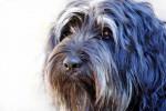 Portuguese Sheepdog picture