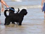 Port. Wasserhund - Male Portuguese Water Dog