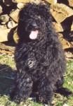 Chien d'Eau Portugais - Portuguese Water Dog