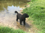 Portuguese Water Dog picture