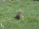 Merlette - Blackbird