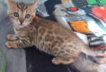 Pukhet - Cat (3 months)