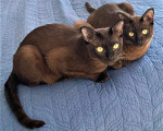 Thai Burmese - Cat