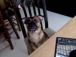 Dog Chipie -  Female (3 months)