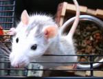 Luna - Rat