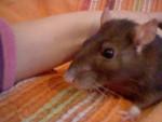 Namour - Rat (3 years)