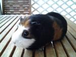 pupuce - Short coated Guinea pig (4 years)