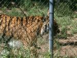 Sabastian - Male Tiger (2 years)